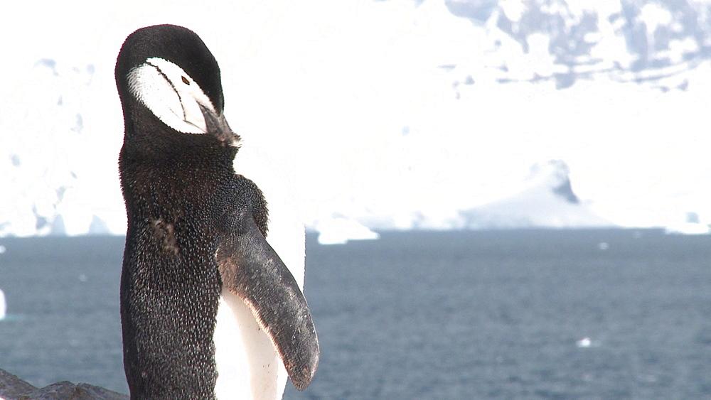 Chinstrap penguin (Pygoscelis antarcticus) preens. Orne Island. Antarctic peninsula