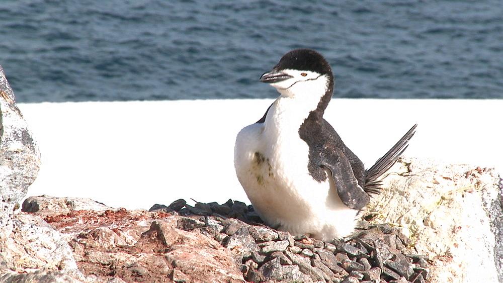 Chinstrap penguin (Pygoscelis antarcticus) on egg, preens.  Orne Island. Antarctic peninsula