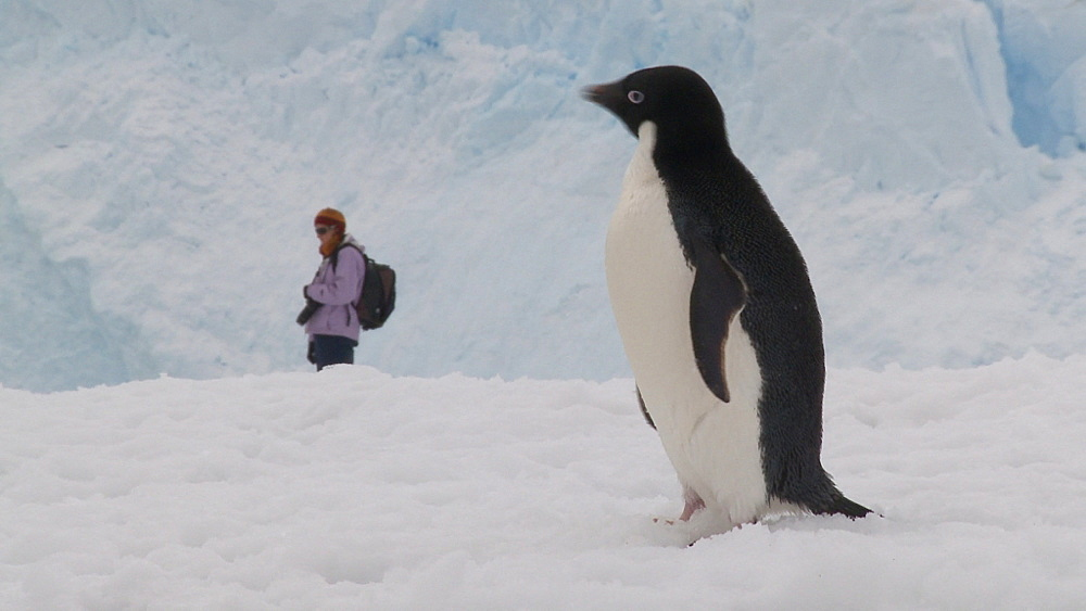 Adelie penguin (Pygoscelis Adeliae) on ice in front of tourist. Neko Harbour, Antarctic Peninsula