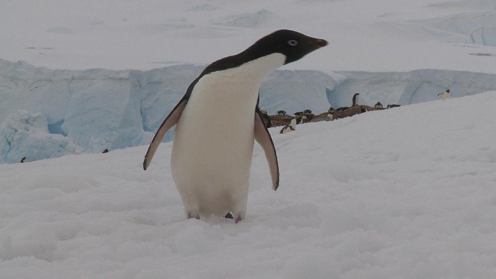 Adelie penguin (Pygoscelis Adeliae) portrait on ice. Neko Harbour, Antarctic Peninsula