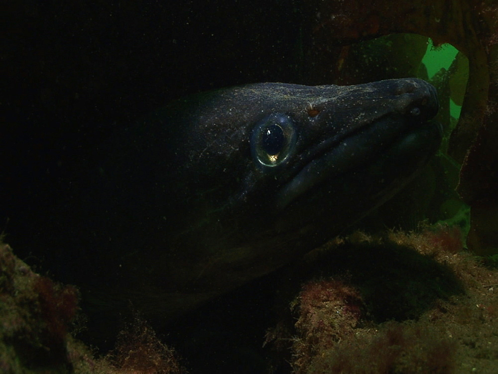 Conger eel (Conger conger). Arran. Underwater, North Atlantic - 1071-116