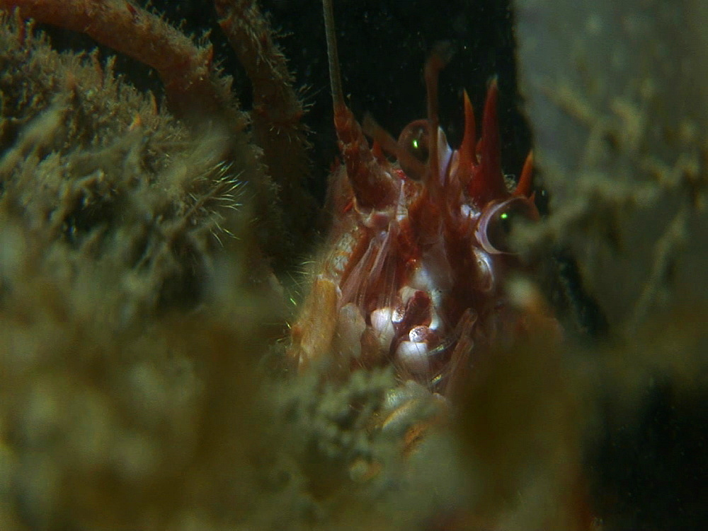 Long clawed squat lobster (Munida rugosa). Arran. Underwater, North Atlantic - 1071-123