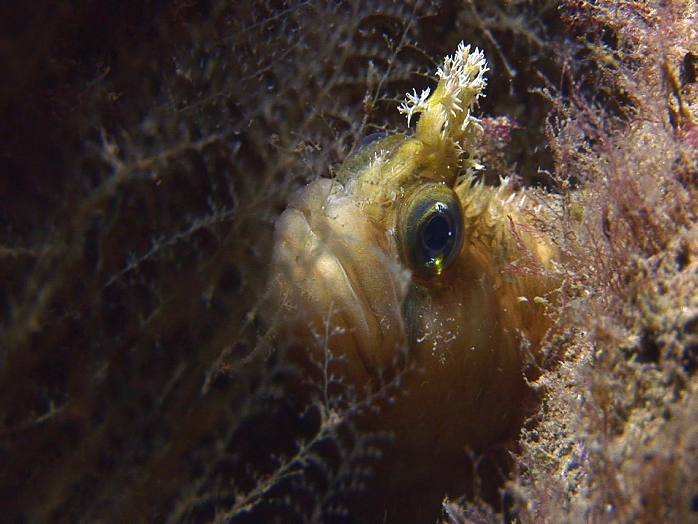 Montagu's blenny (Coryphoblennius galerita). Arran. Underwater, North Atlantic - 1071-156