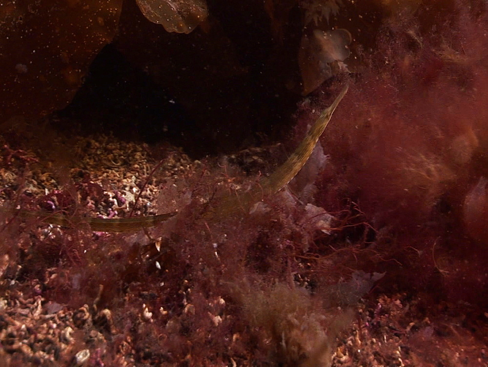 Pipefish (currently unidentified). Arran. Underwater, North Atlantic - 1071-158