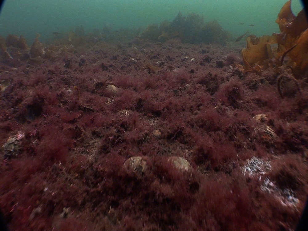 Sea bed with algae and broken shells after dredging. Conservation issue. Arran. Underwater, North Atlantic - 1071-159