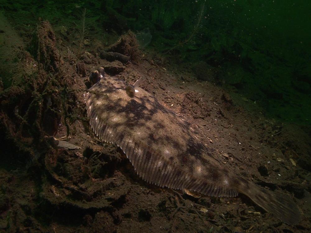 Plaice (Pleuronectes platessa) or lemon sole (Microstomus kitt,). Arran. Underwater, North Atlantic