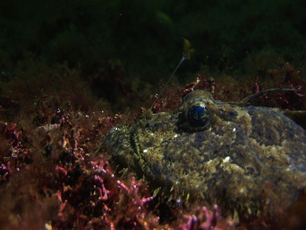 Anglerfish/monkfish (probably Lophius budegassa or Lophius piscatorius). Arran. Underwater, North Atlantic - 1071-23