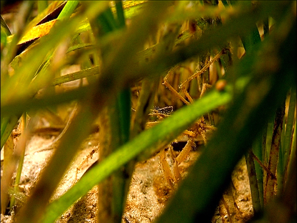 Unidentified spidery crab species in sea grass. Arran. Underwater, North Atlantic - 1071-48