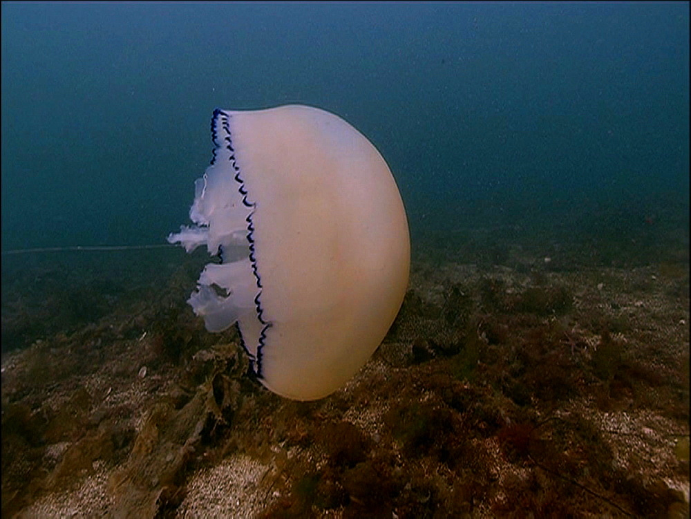 Jellyfish (currently unidentified). Arran. Underwater, North Atlantic - 1071-58