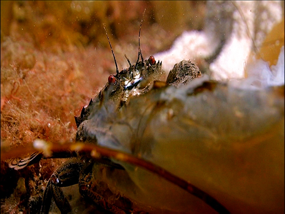 Velvet swimming crab (Necora puber). Arran. Underwater, North Atlantic - 1071-69