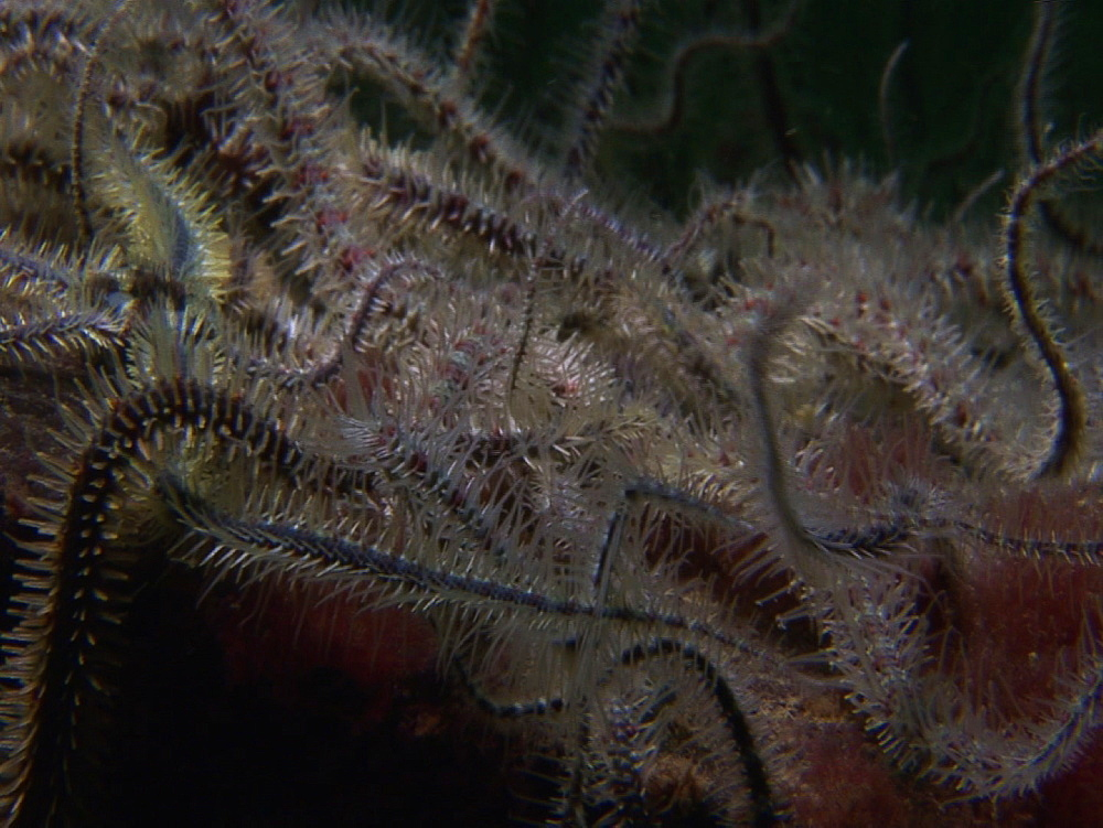 Brittlestars (currently unknown species). Arran. Underwater, North Atlantic - 1071-77