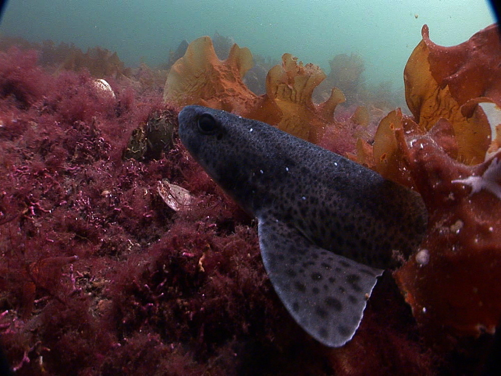 Lesser spotted dogfish (Scyliorhinus canicula). Arran. Underwater, North Atlantic - 1071-99