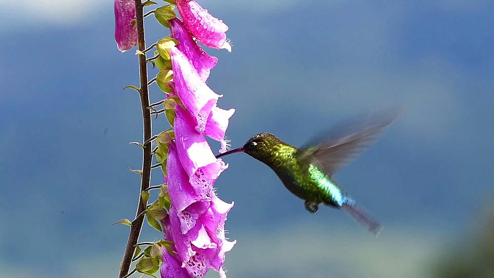 Fiery-throated Hummingbird (Panterpe insignis), San Gerardo De Dota, San Jose Province, Costa Rica, Central America