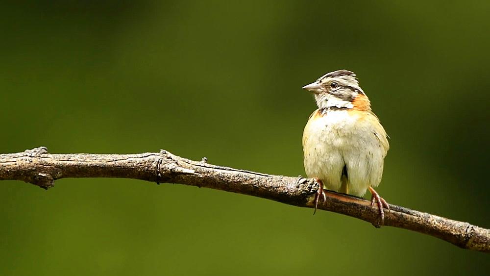 Rufous-collared sparrow (Andean sparrow), San Gerardo De Dota, San Jose Province, Costa Rica, Central America