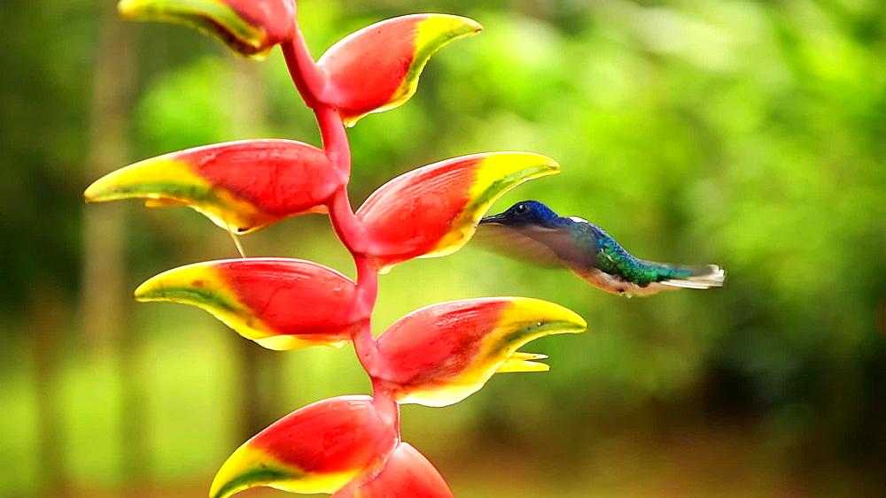 White-necked Jacobin (Florisuga mellivora) Hummingbird, Boca Tapada, Alajuela Province, Costa Rica, Central America