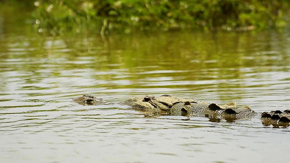 American??crocodile??(Crocodylus acutus), Tarcoles River, Costa Rica, Central America - 1109-3923