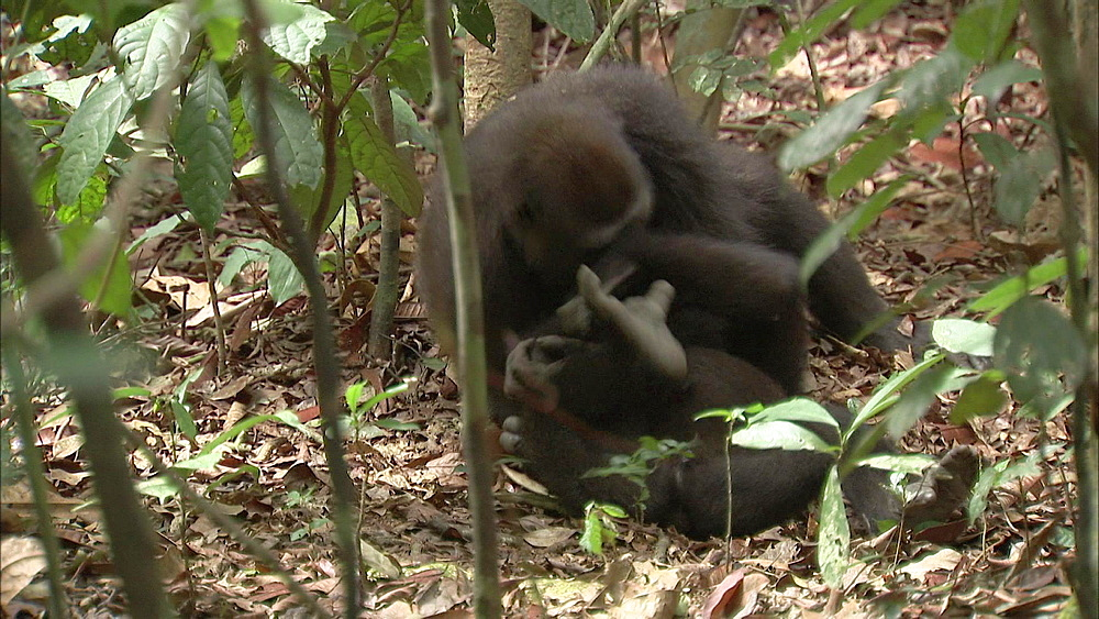 Two Western Lowland Gorillas play fighting on forest floor surrounded by branches and leaves, Dzangha-Sangha National Park, Central African Republic