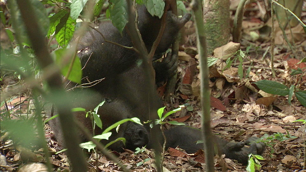Western Lowland Gorilla laying on back on forest floor, Dzangha-Sangha National Park, Central African Republic - 1114-1245