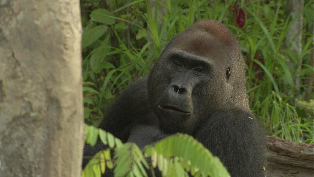 Mikumba the Silverback Western Lowland Gorilla sitting on forest floor eating surrounded by trees, Dzangha-Sangha National Park, Central African Republic - 1114-1248