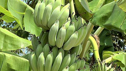 Bananas growing on a Banana Stalk