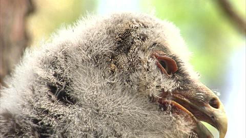 Great grey owl (Strix nebulosa) chick in nest, Riding Mountain, Manitoba, Canada