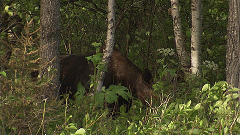 Moose in forest, Minnesota, United States of America  - 1157-377