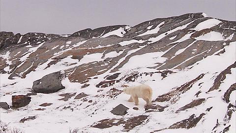 Polar bear walking on snowy rocks, Churchill, Manitoba, Canada