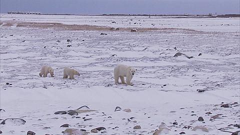 Polar bear with cubs walking on ice, Churchill, Manitoba, Canada  - 1157-545