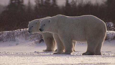 Two polar bears,Ursus maritimus, Churchill, Manitoba, Canada