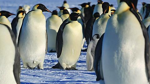 Emperor penguins (Aptenodytes fosteri) preening at colony