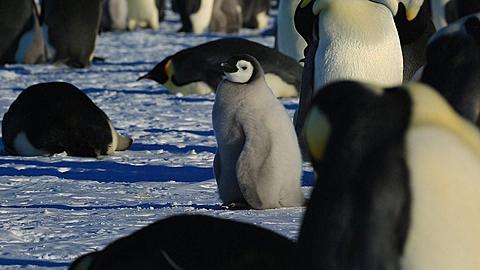 Emperor penguin (Aptenodytes fosteri) chick preening in colony