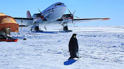 Emperor penguin (Aptenodytes fosteri) at Gould Bay camp walk past airplane and tents  - 1159-1060
