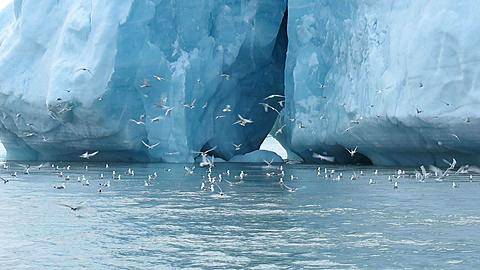 Wideish of gulls and terns fluttering around iceberg, nice balletic terns diving, Antarctica - 1159-1100