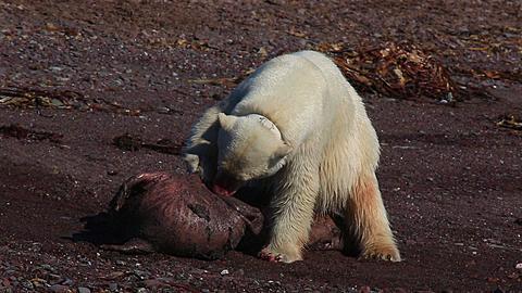Radio-collared polar bear (Ursus maritimus) feeds on dead seal, Antarctica - 1159-1119