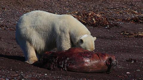 Radio-collared polar bear (Ursus maritimus) feeds on dead seal, Antarctica - 1159-1121