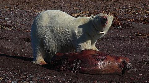 Radio-collared polar bear (Ursus maritimus) feeds on dead seal, Antarctica - 1159-1122