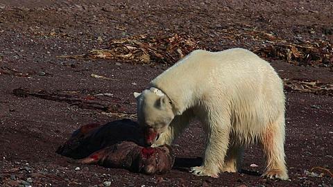 Radio-collared polar bear (Ursus maritimus) feeds on dead seal, Antarctica - 1159-1129