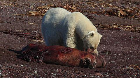 Radio-collared polar bear (Ursus maritimus) feeds on dead seal, Antarctica - 1159-1132