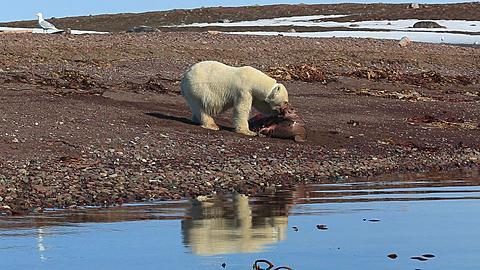 Radio-collared polar bear (Ursus maritimus) feeds on dead seal, wider, Antarctica - 1159-1133