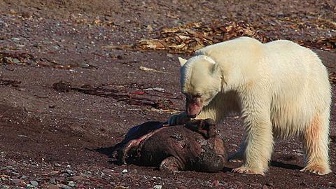 Radio-collared polar bear (Ursus maritimus) feeds on dead seal, Antarctica - 1159-1136