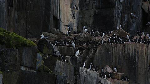 Pan across guillemot colony, with fly-ins, Antarctica - 1159-1145