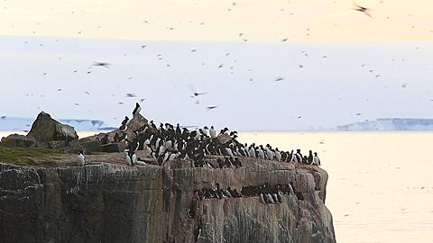 Guillemot colony at top of cliff with immense numbers of birds in flight, Antarctica - 1159-1146