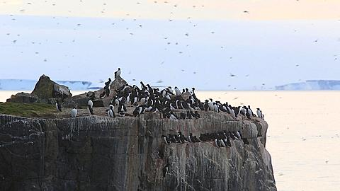 Guillemot colony at top of cliff with immense numbers of birds in flight, Antarctica - 1159-1147