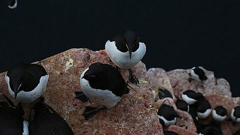 High angle looking down on Brunnich's guillemots (Uvia lomvia) on ledges and sea below, closer, Antarctica - 1159-1158