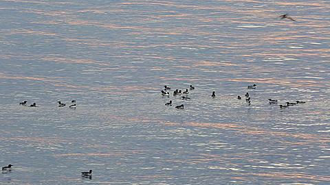 Mid distant shot of raft of guillemots on sea, nice light on waves, Antarctica - 1159-1164