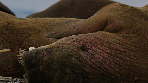 Walrus (Odobenus rosmarus), close adult portrait rubbing head (grooming), Antarctica