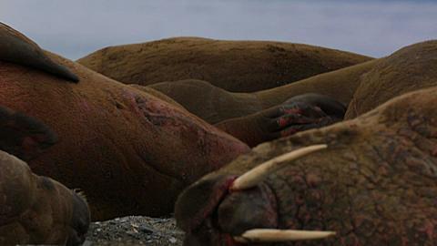 Walrus (Odobenus rosmarus), medium close adult rubbing back against rocks on beach (grooming) in social group, Antarctica - 1159-1172