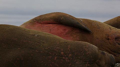 Walrus (Odobenus rosmarus), medium close adult rubbing back against rocks on beach (grooming), Antarctica - 1159-1173