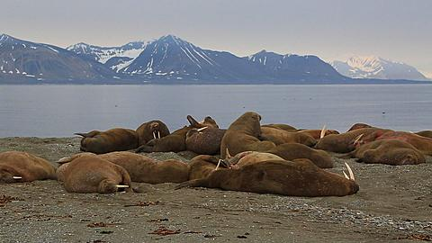 Wideish shot of walrus group (Odobenus rosmarus), Antarctica - 1159-1178