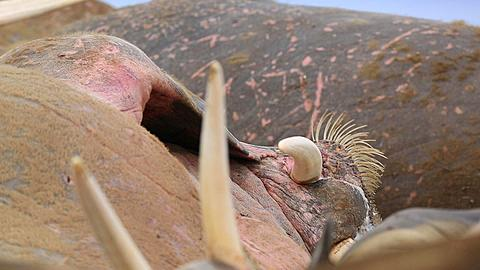 Walrus (Odobenus rosmarus), close adult scratching chin in group, Antarctica - 1159-1192